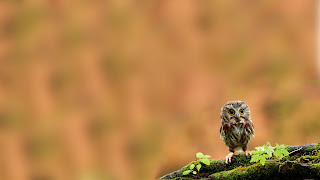 Lonely Owlet Wallpaper