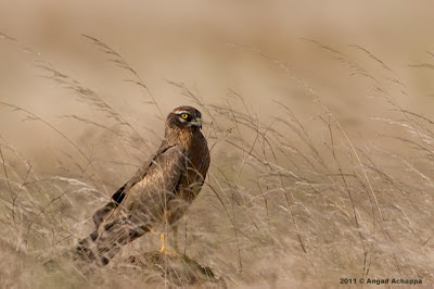 pallid harrier male