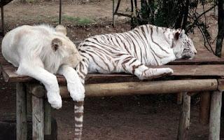 Leão e tigre em espaço de confinamento na África do Sul