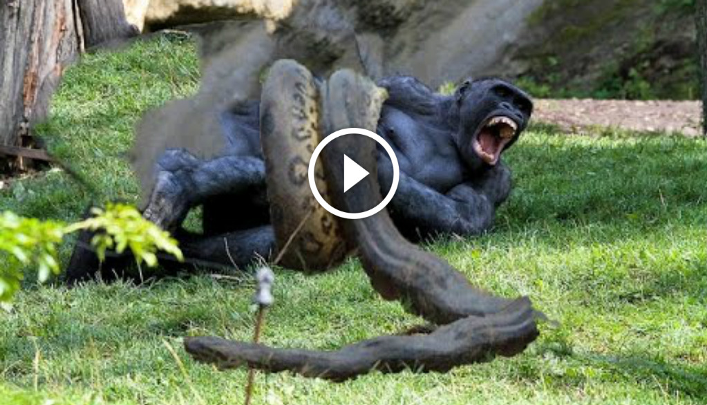 tiger attacks alligator | Search Results | Global News ...
