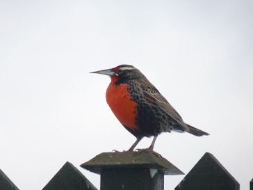 longtailed meadowlark aka Falklands robin