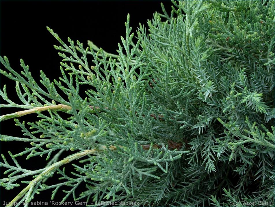 Juniperus sabina 'Rockery Gem' - Jałowiec sabiński igły