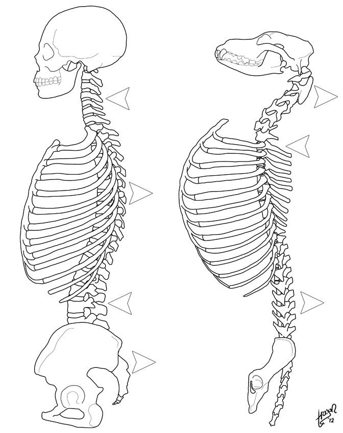 Anthro Anatomica: S-spine, C-spine