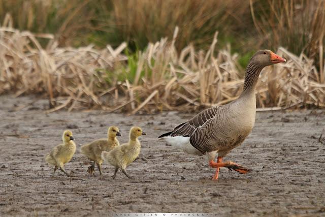 Grauwe Gans met kuikens - Greylag Goose with chicks - Anser anser