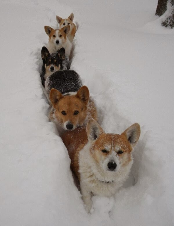 Funny animals of the week - 22 November 2013 (35 pics), corgi packs
