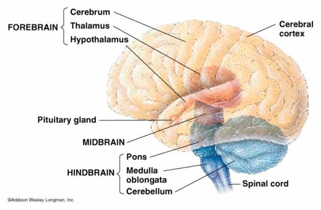 Brain Divisions3