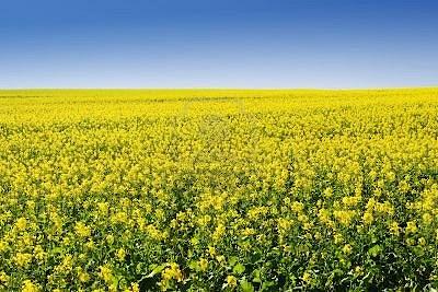 236484-campo-de-las-flores--cabo-occidental-sudafrica ESTAS SON LAS FLORES DE SUDAFRICA