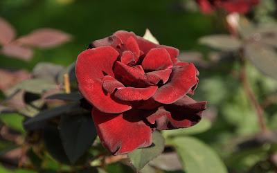 Rosas de colores  para el Día de las Madres I (10 fotos)