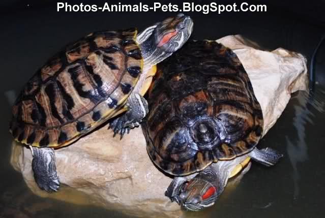 http://4.bp.blogspot.com/-5J5su-M0aHY/ThiOetanuMI/AAAAAAAABno/z8ZXCnSP-Ac/s1600/Baby%2Bturtle%2Bpictures_0001.jpg