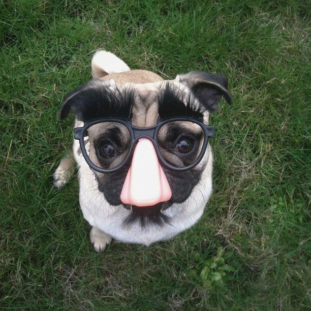 norm pug