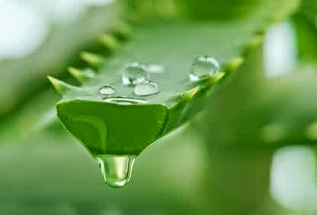 how to eat aloe vera for weight loss