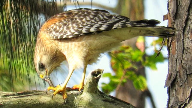 Red Shouldered Hawk Eating Black Racer Snake