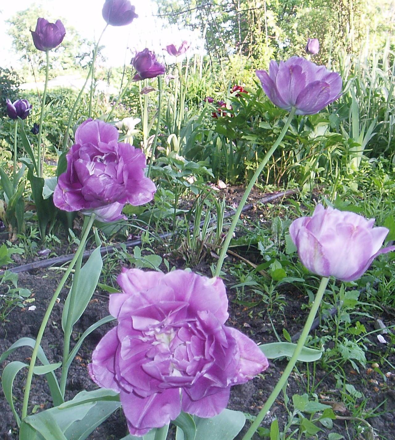 Mariehem i skåne: tulipa 'blue wow' och takbyte, del 2.
