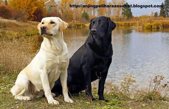 anjing labrador retrievers, anjing peliharaan terbaik, jenis anjing terbaik, anjing peliharaan, anjing sehat