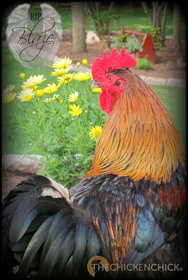 Blaze, Black Copper Marans rooster.