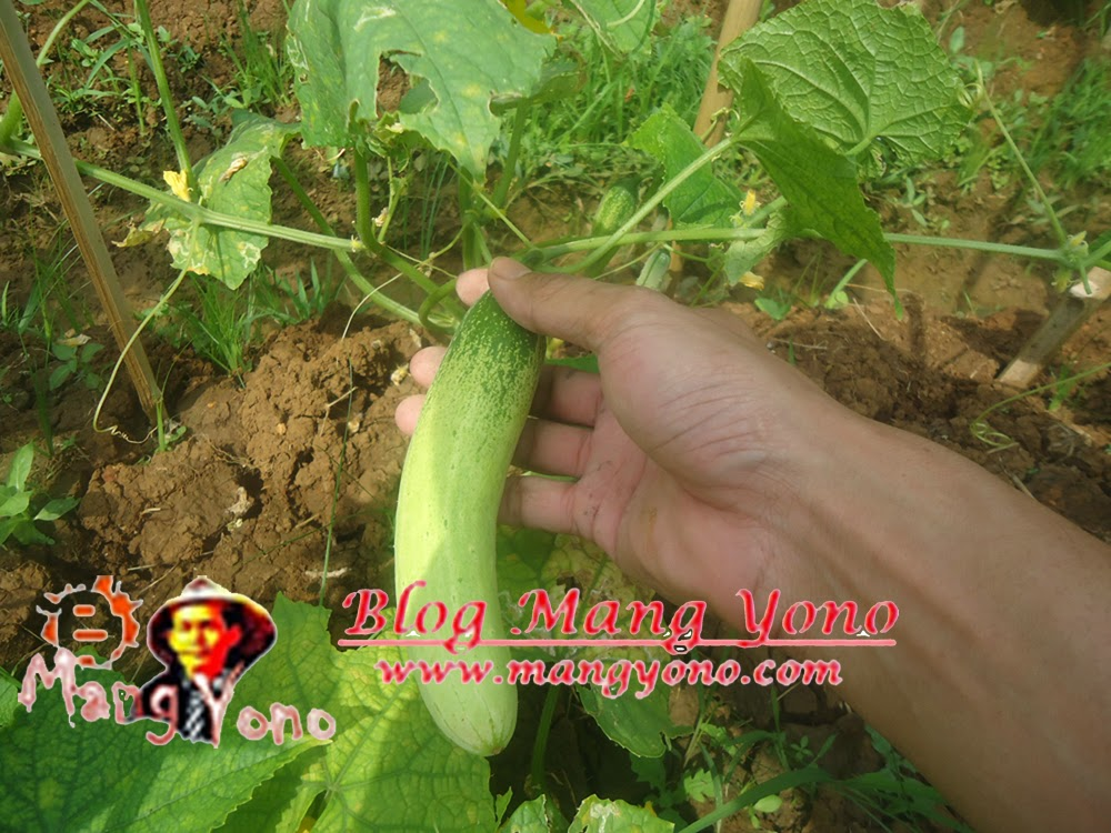 Memetik buah mentimun di kebun