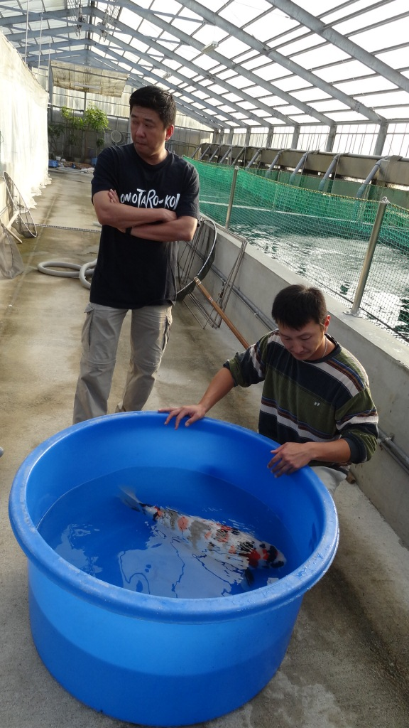 Auctions travel in japan for Looking after koi
