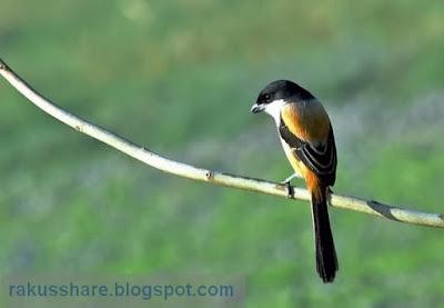Suara Burung Cendet 5 Variasi
