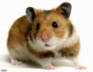Hamsters en Inglaterra
