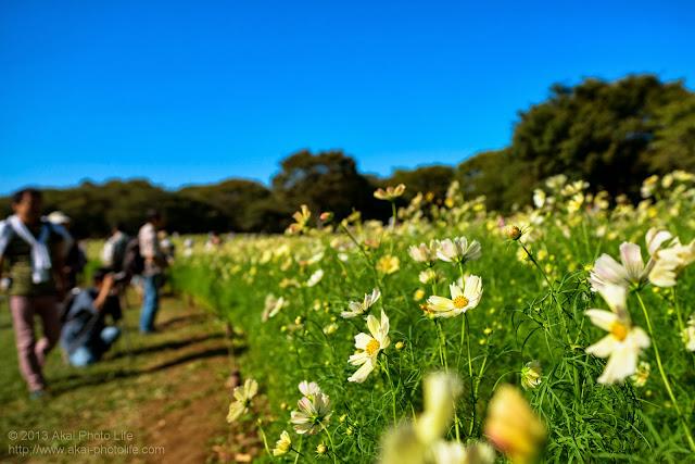昭和記念公園の黄色いコスモス