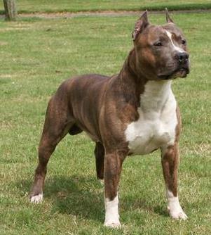 American Pit Bull Terrier | Wild Life Animal