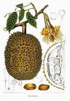 Durian Montong, Raja Buah