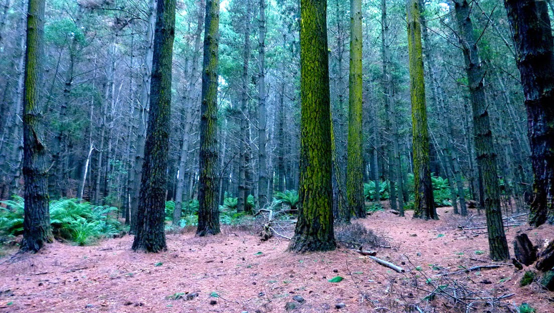 Pinus Radiatus, Stoodley Arboretum