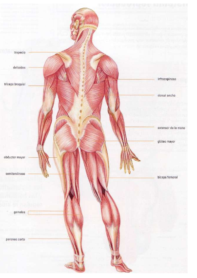 Anatomía Aplicada: Actividades UD2: Sistema Muscular (III)