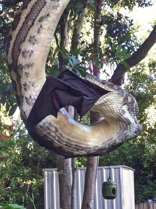 Casal flagrou cobra enorme devorando raposa-voadora na Austrália (Foto: Reprodução/Facebook/Sunshine Coast Snake Catchers)