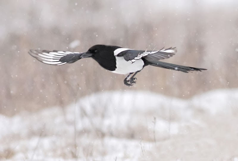 Magpie Pica pica photography by Iordan Hristov