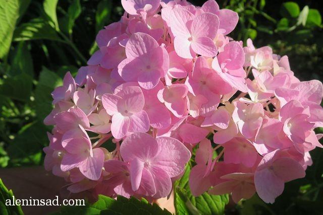урожай, август, аленин сад, гортензия крупнолистная, Hydrangea macrophylla