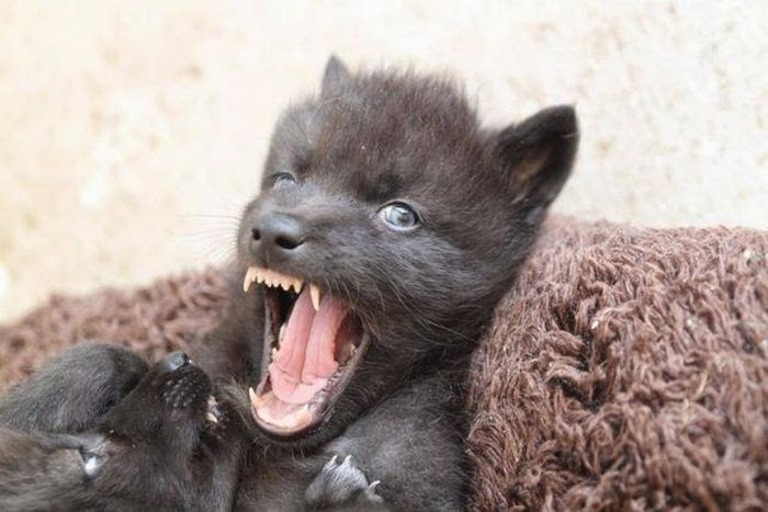 Funny animals of the week - 5 April 2014 (40 pics), vicious baby wolf