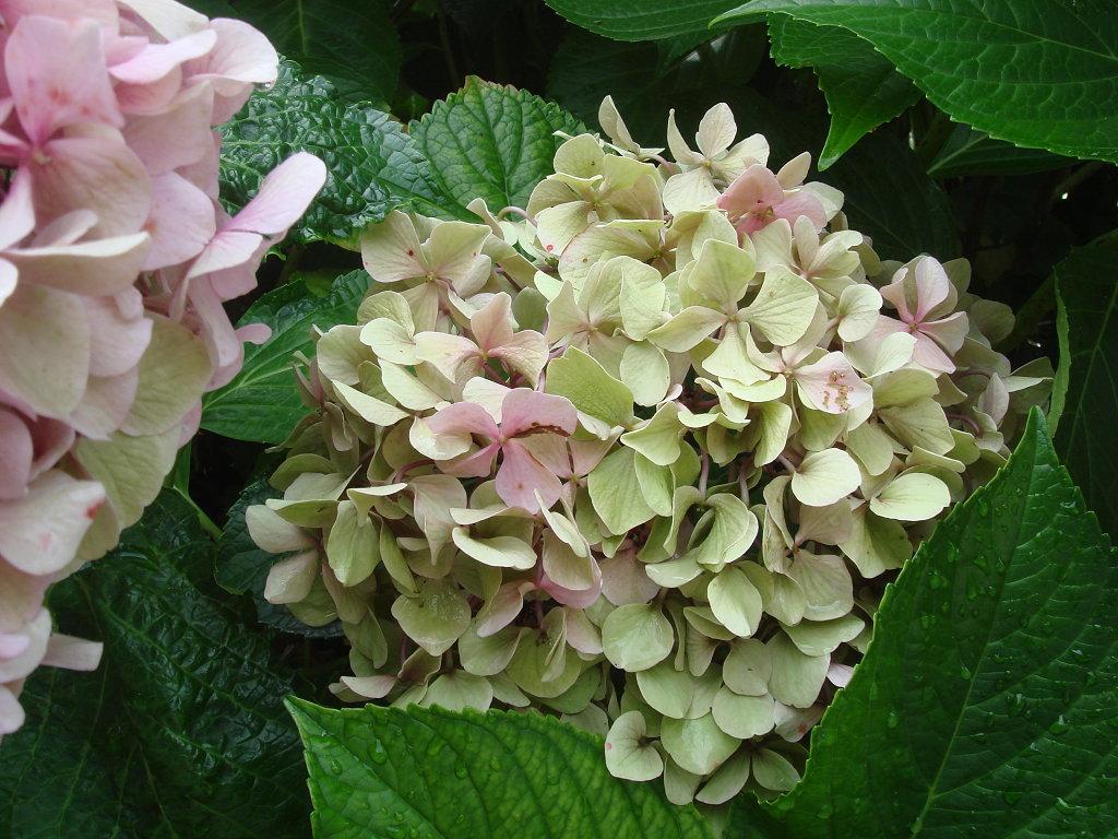 Jardines sakiyam - Como podar la hortensia ...
