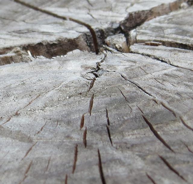 Ampliação de Macro foto de Corte de Tronco de Metrosídero ou árvore de fogo. Fotografia macro com pormenor dos veios da madeira.
