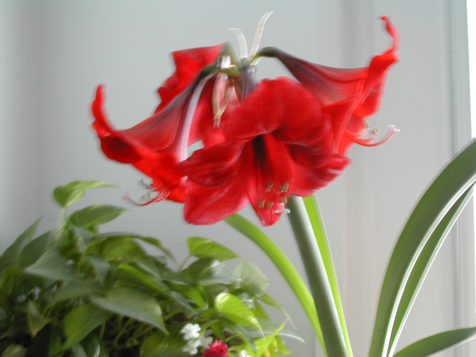 The other red christmas flower amaryllis planting and care dons the other red christmas flower amaryllis planting and care mightylinksfo