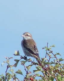 RED BACKED SHRIKE-PARK LANE-MEOLS-5TH SEPTEMBER 2015