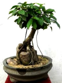 Cara Membuat Bonsai Dari Pohon Beringin
