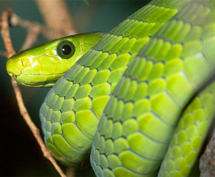 fotos de las 10 serpientes mas venenosas: