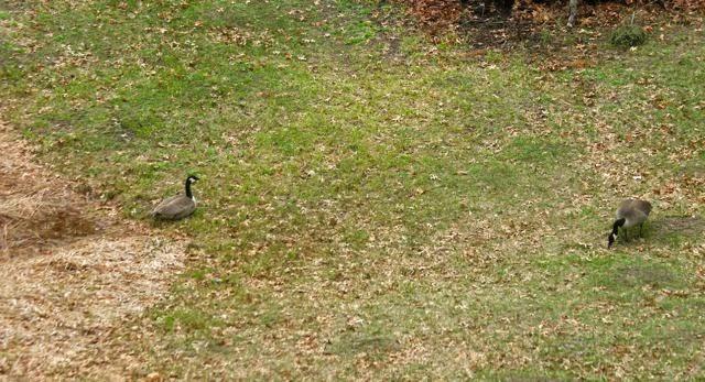 Canada geese feeding, resting