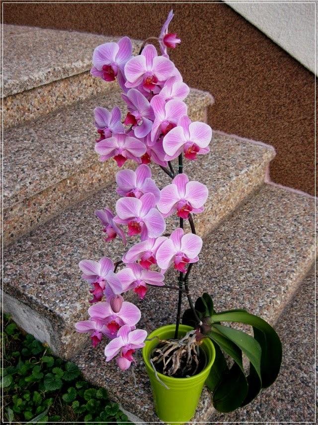Razmnožavanje Orhideja - Moj Vrt Cvijeća