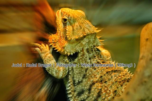 Judul : Kadal Dragon || Fotogarfer : Wisnu Darmawan ( Klikmg3 ) Fotografer Purwokerto