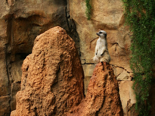 Meerkats Wallpapers