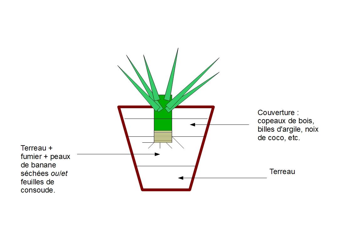 Culture des ananas en pot bouture d 39 un ananas - Comment pousse l ananas ...