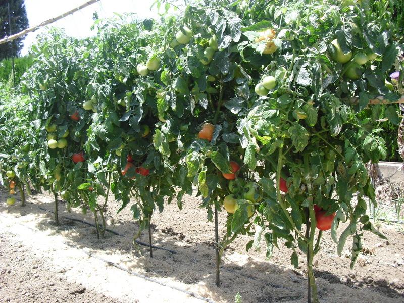 El huerto del lopez azufre a las tomateras for Plantas beneficiosas para el huerto