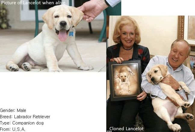 photo of yellow lab puppy lancelot, then another photo of the cloned version in the arms of his owners