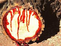 Fenomena Aneh, Pohon ini Mampu Keluarkan Darah