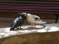amor de palomas