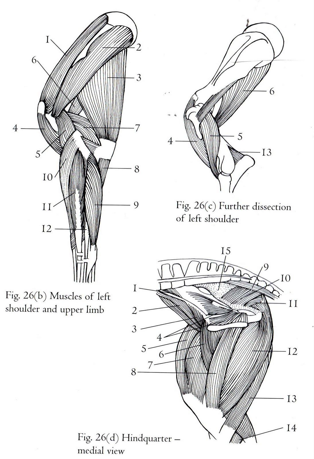 Atemberaubend Koronarostium Anatomie Ideen - Anatomie Von ...