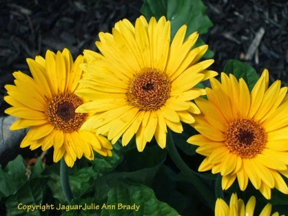 three pretty yellow gerbera daisies