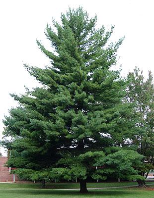 Arte y jardiner a pinos rboles longevos for Tipos de arboles para plantar en casa